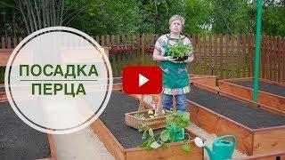 видео Выращиванием баклажаны на балконе: советы садовода