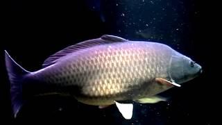 Carp Fish Tank For Your Big Screen Tv