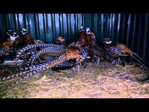 Bán Chim trĩ Vân Nam-Chim Trĩ Hoàng Cung-Reeves Pheasant