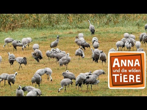 Der Tanz des Kranichs (Doku)   Reportage für Kinder   Anna und die wilden Tiere