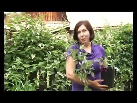 Вьющиеся растения для сада и дачи фото и названия Сайт