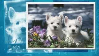 West Highland White Terrier Pups Te Koop
