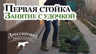 Натаска легавой - Стойка в 2 месяца - Тренировка стойки - Дрессировка щенка