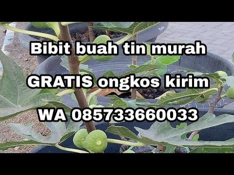 jual-bibit-tin-jenis-langka-buah-unik-wa-085733660033-gratis-ongkos-kirim