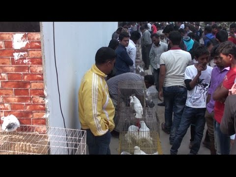 Meradia pigeons hat/ wednesday 18-01-2017 by pigeons market.