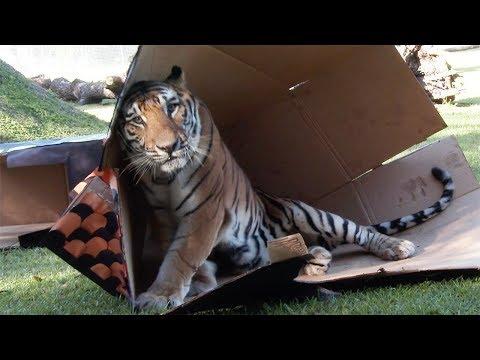 Tiger Of Mass Destruction