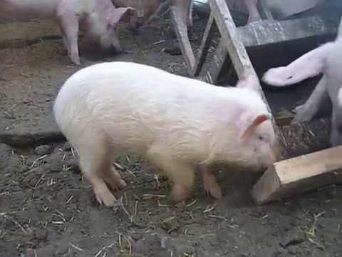 Свиньи крупная белая и ландрасы  Мои первые шаги   2