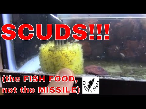 How To Culture Scuds For Aquarium Fish Food