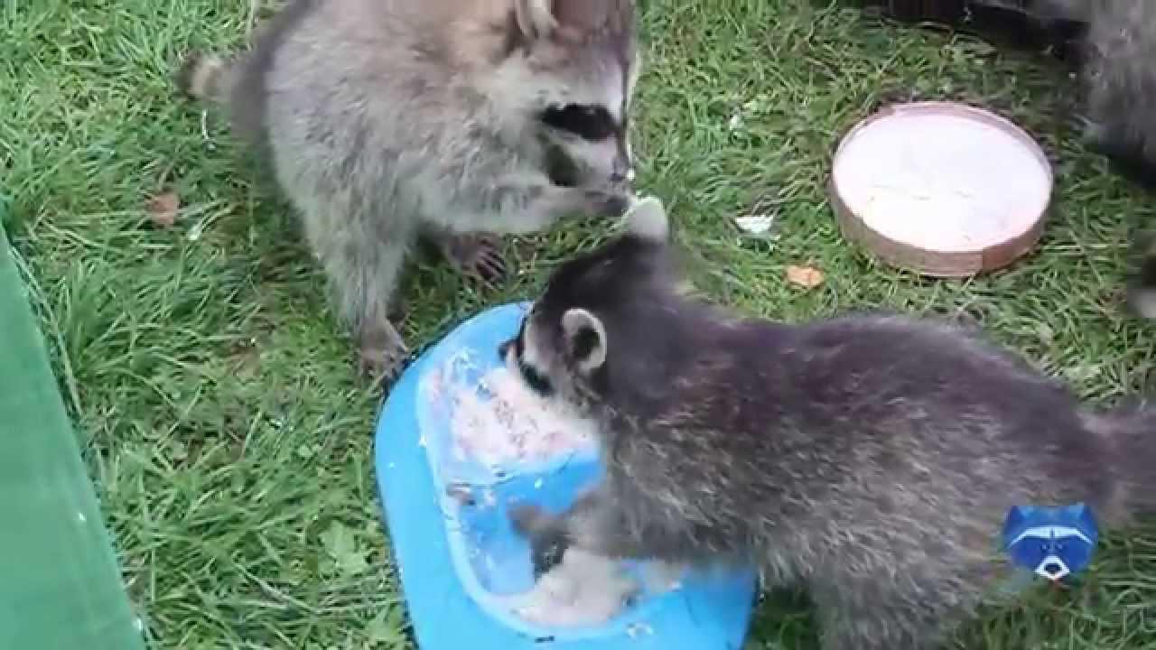 ТОП 5 Лучшие видео. Красная панда и первый снег. Red Panda and .