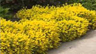 Forsythia Shrubs for sale