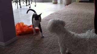 Kitten Vs Maltese Pup