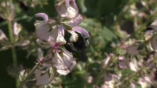 Три вида шалфея: дубравный, лекарственный и мускатный. Пчела-плотник.