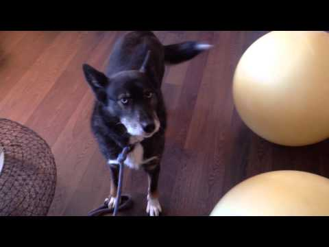 Amazing Talking dog looks like a wolf | Smart Dog