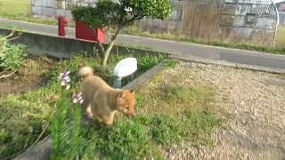 楽しそうに走り回る山陰柴犬の子犬(生後2ヶ月)