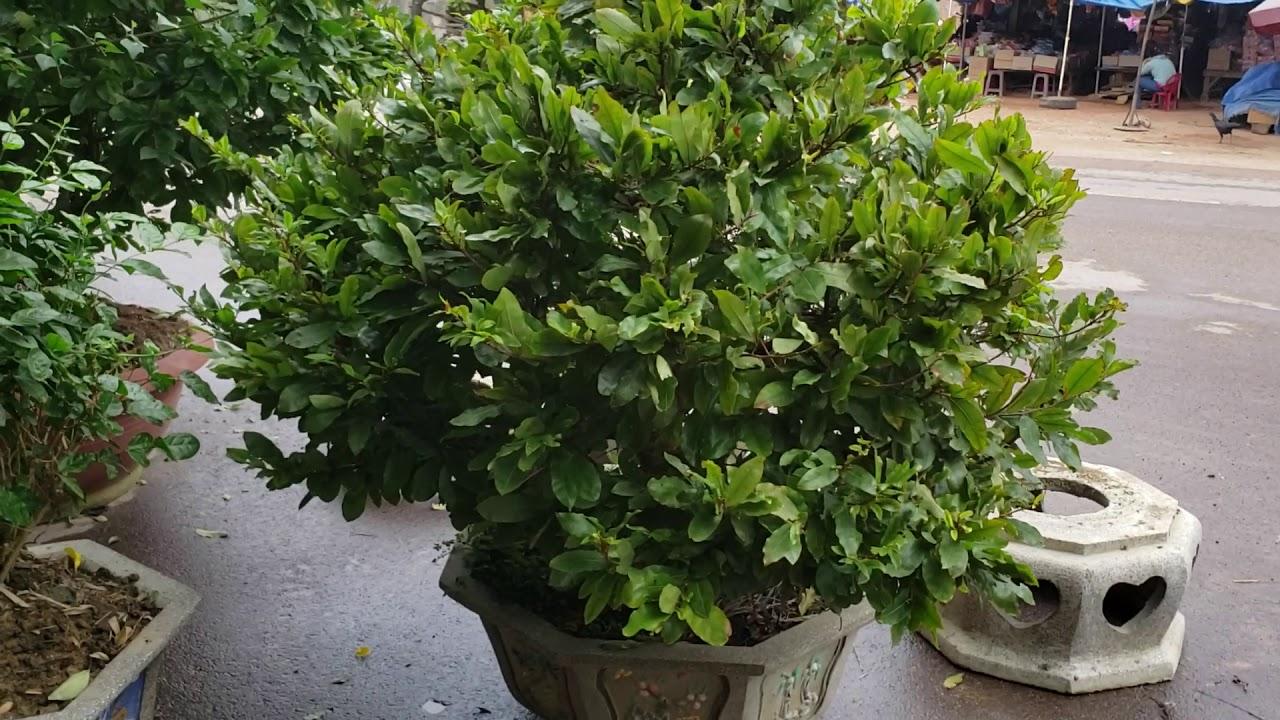 Hoa mai dáng long