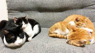 子猫たちを寝かしつける兄猫たち