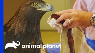How To Safely & Successfully Catch A Golden Eagle | The Zoo