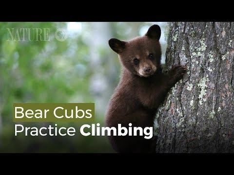 Gấu Con Tập Trèo Cây