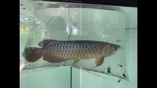 Indigo Blue เมื่อถึงบ้านลูกค้า มาดูกัน ปลามังกร P&P Arowana เชียงใหม่ ส่งได้ทั่วไทย