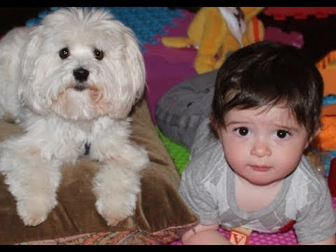 Adorable Relationship Between Babies and Maltese Dogs - Cutest Dog and Baby Compilation