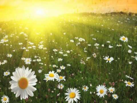 поле солнечных ромашек