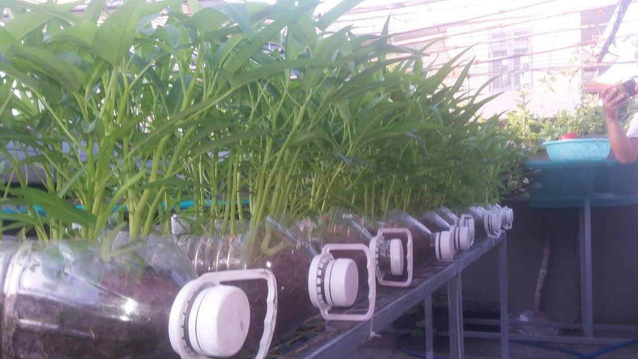 Rau muống trồng trong bình 5L dễ trồng rau xanh mướt cọng mập ( P2)  | Khoa hien 286
