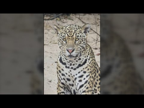 New Mexico photographer discovers never-before-seen jaguar in Brazil