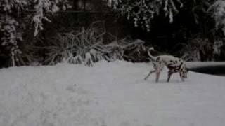 Snow Dalmatian - Wilmington Nc - Feb 2010