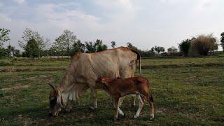 ลักษณะของวัวเป็นสัดเงียบที่มีจิ๋มบวมแดง