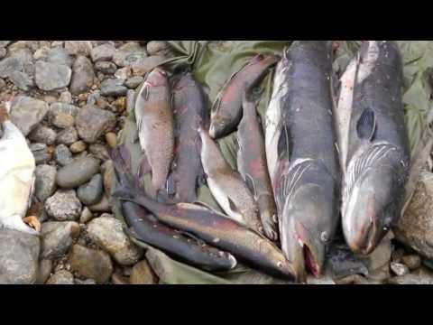 Рыбалка в Якутии. Ловля тайменя. Fishing in Yakutia. Якутия.Сибирь.GoldenAldan.ru
