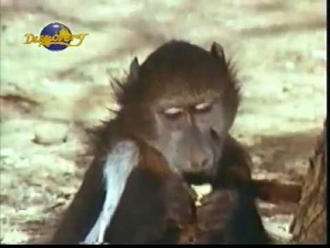 Monkey catching to find water by kalahari man by latest news 411