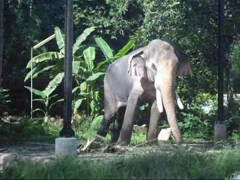 Thechikottukavu Ramachandran / musth /elephants of kerala/Tallest & biggest elephant /star elephants