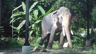 Thechikottukavu ramachandran / musth video/elephants of kerala/Tallest & big elephant star elephants