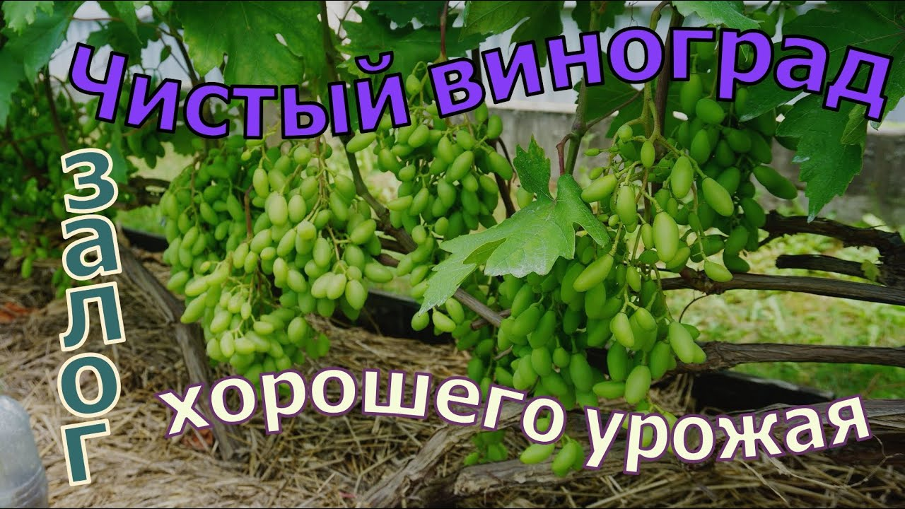 Виноград. Поздняя , но необходимая обработка винограда .