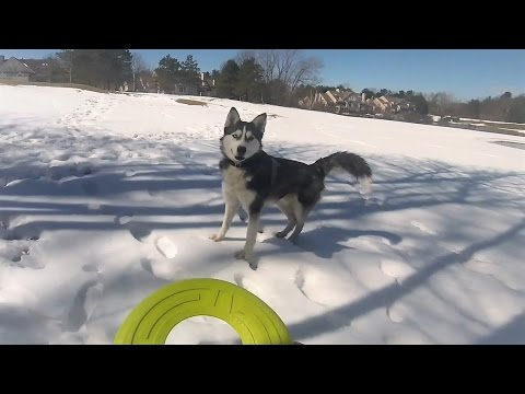 Play Frisbee with Cute Siberian Husky Max in the Snow - GoPro