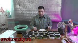 Замачиваем и сеем томаты - Рассада 2015