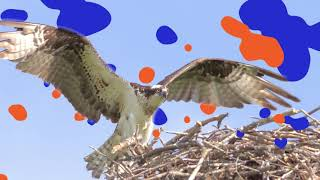 Welcome to the 3rd Osprey Festival!