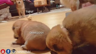 Daddo disrespecc potat! Shiba Inu puppies (with captions)