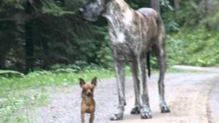 Die größte und die kleinste Hunderasse der welt nebeneinander