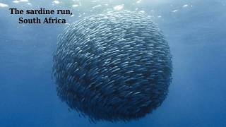 The sardine run, South Africa - incredible happening