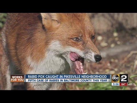 Rabid fox discovered in Pikesville in Baltimore County
