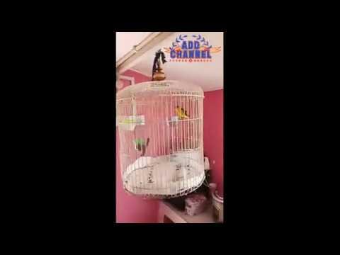 Burung mantenan gacor