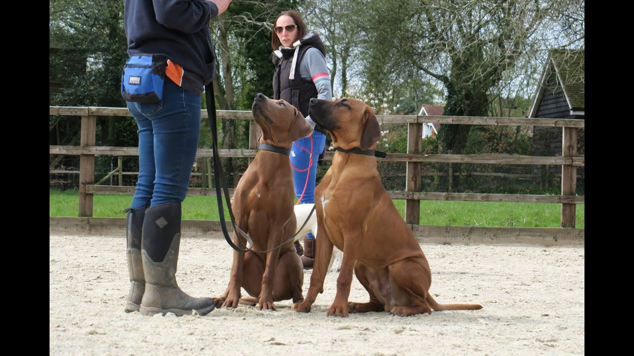 India & Kilo - Rhodesian Ridgeback Puppy's - 2 Week Residential Dog  Training At Adolescent Dogs