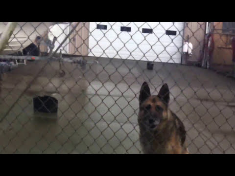 Vicious German Shepherd Guard Dogs in Aberdeen, WA; Don't stick your fingers in there.