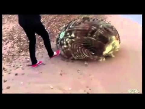 Download Unknown Creature Washed up on Japan s beach