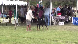 08-18-13 West Oahu Kennel Club Doberman Pinschers