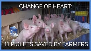 11 Piglets Saved After Farmers Have a Change of Heart
