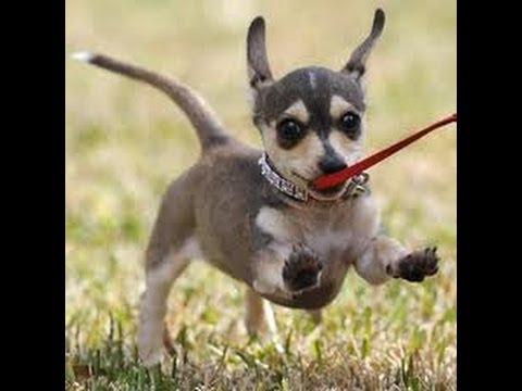 Чиуини (Chiweenie). Порода собак (Dog Breed)