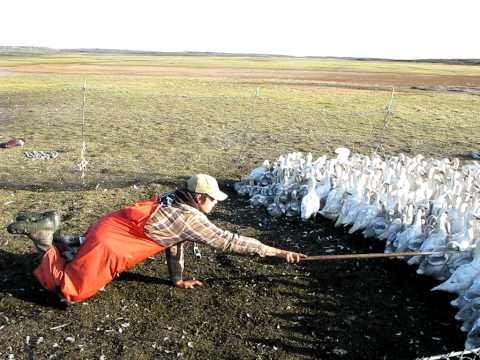Goose Banding Karrak Lake, NU - Gosling collecting by Alain