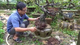 Cách thay đất sang chậu một cây mai lâu năm